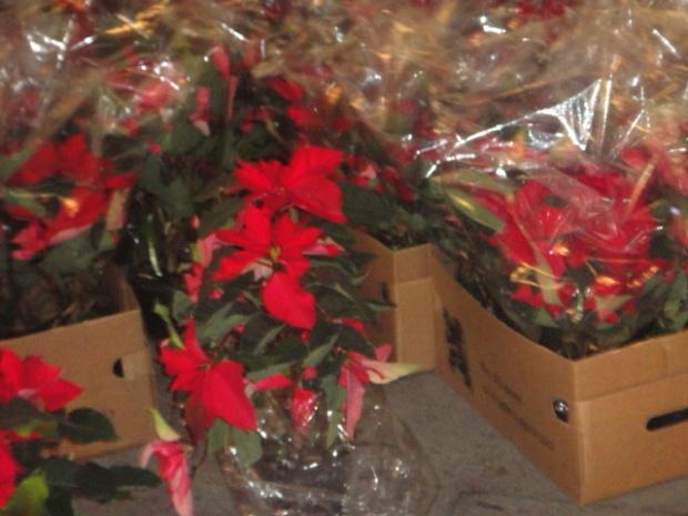 Flores Stelle di Natale